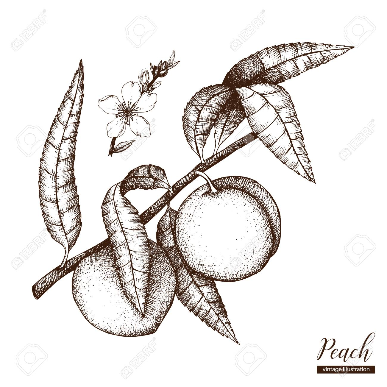Peach tree drawing at getdrawings free for personal use peach 1300x1300 hand drawn peach tree illustration engraved fruit drawing thecheapjerseys Gallery