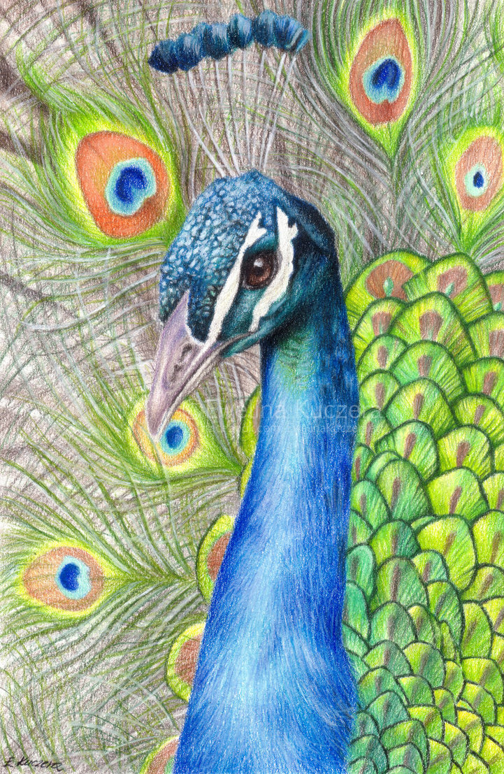 721x1107 Peacock Drawing by Kot Filemon on DeviantArt