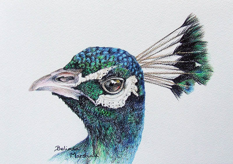 800x564 Peacock Drawing with Color in Pencil For Sale