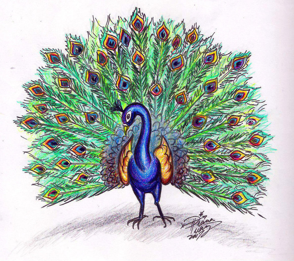 948x842 peacocks drawings
