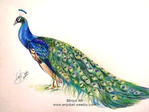 570x428 Peacock Color Drawing Peacock Drawing In Color Pencil Peacock