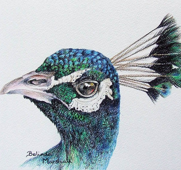 600x564 Peacock Drawing With Color In Pencil For Sale