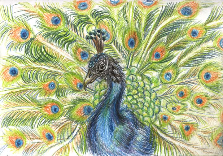 720x504 peacock sketch by shadow of ember on deviantart