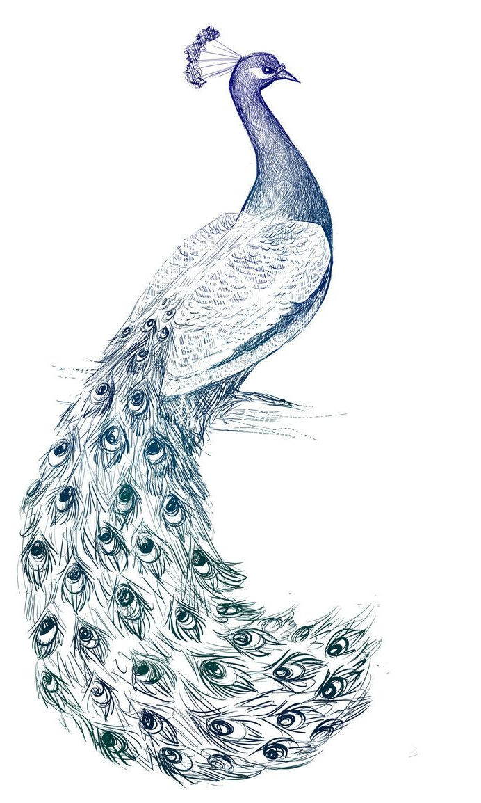692x1154 Pencil Paintings Of Peacock How To Draw A Peacock Step By Step
