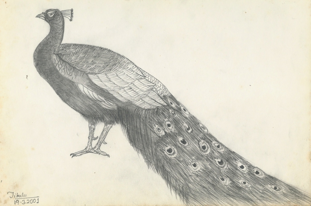 1024x680 Pencil Drawings Of Peacock Drawing Peacock On The Far Side