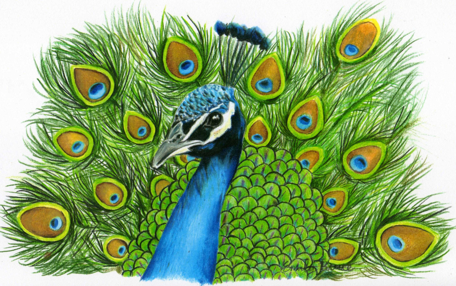 1500x940 Realistic Peacock Drawing Drawn Peafowl Realistic
