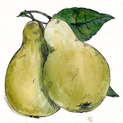 424x424 Public Domain Pear Drawing