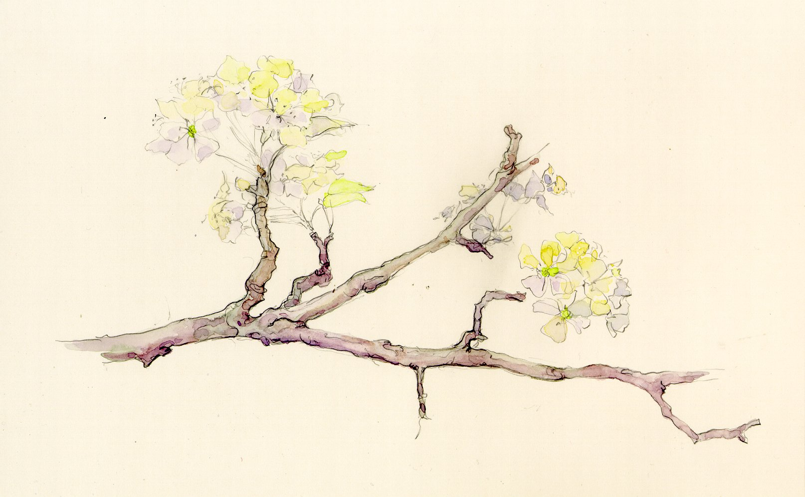 1614x997 Pear Tree Blossoms Creative Color