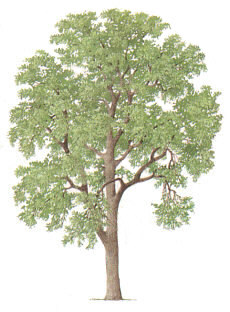 230x312 Ash Tree Pictures, Photos, Images On Ash Tress