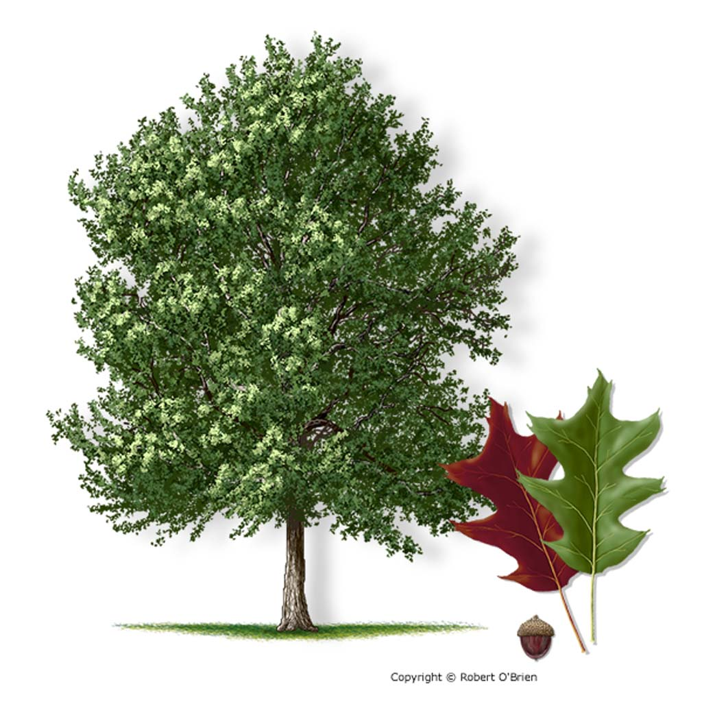 1024x1024 Cherrybark Oak Is One Largest And Fastest Growing