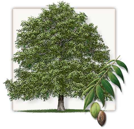 471x455 Fannin Pecan Trees Are Not The Same As Other Trees Found