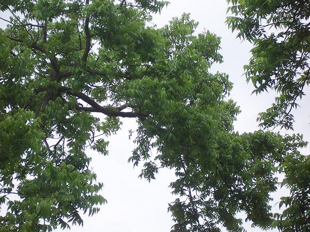 640x480 Texas State Tree Pecan Tree