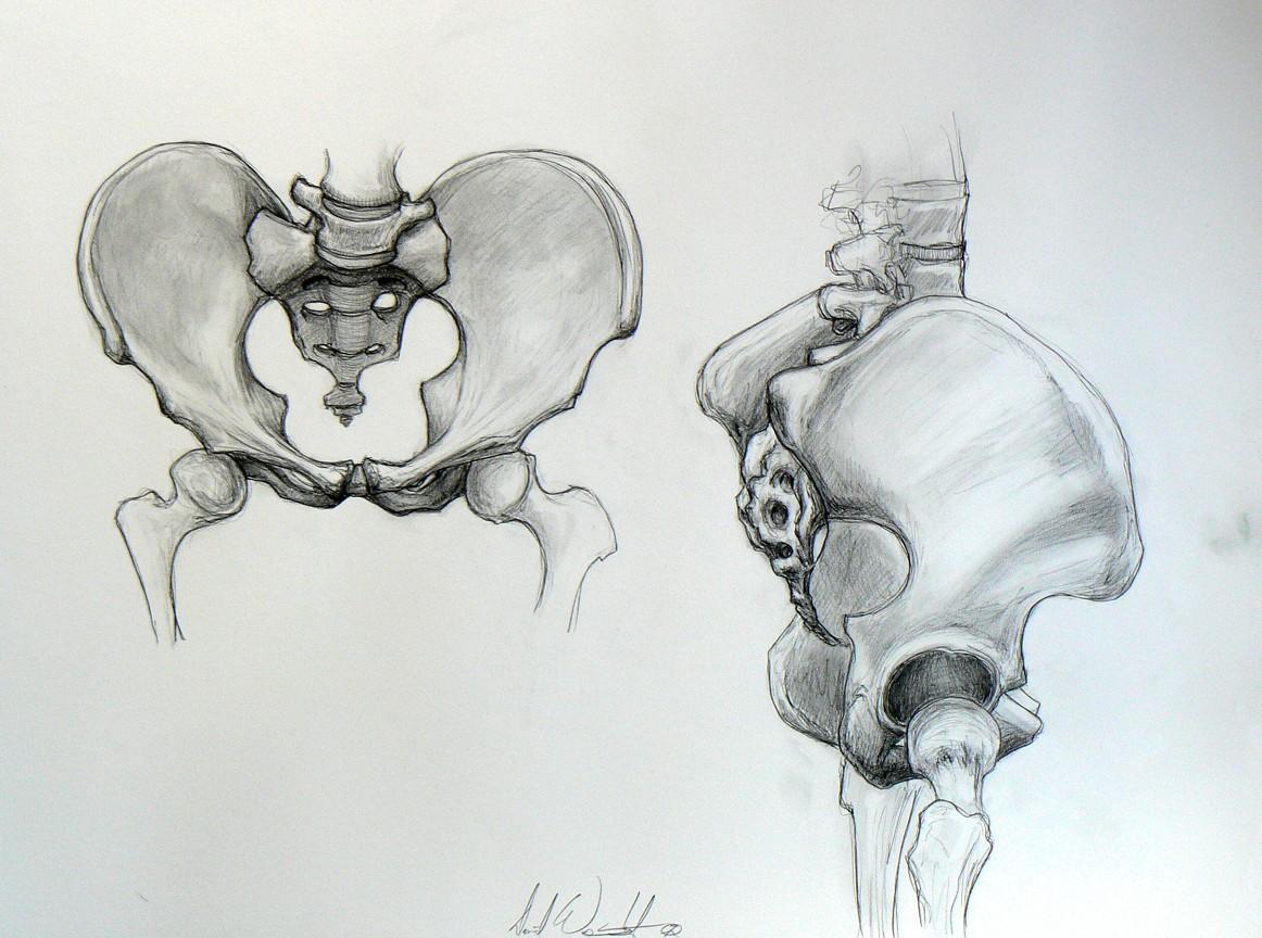 Pelvis Drawing at GetDrawings.com   Free for personal use Pelvis ...