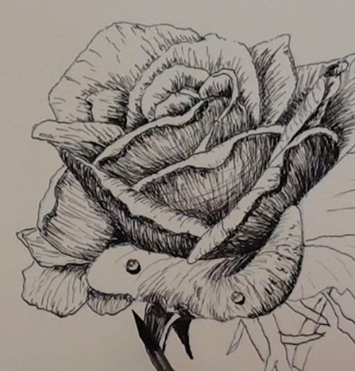 500x522 How To Draw A Rose In Pen And Ink Online Art Lessons