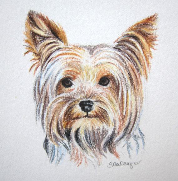 570x580 Yorkie Dog Colored Pencil Drawing Original By Clarityartdesign