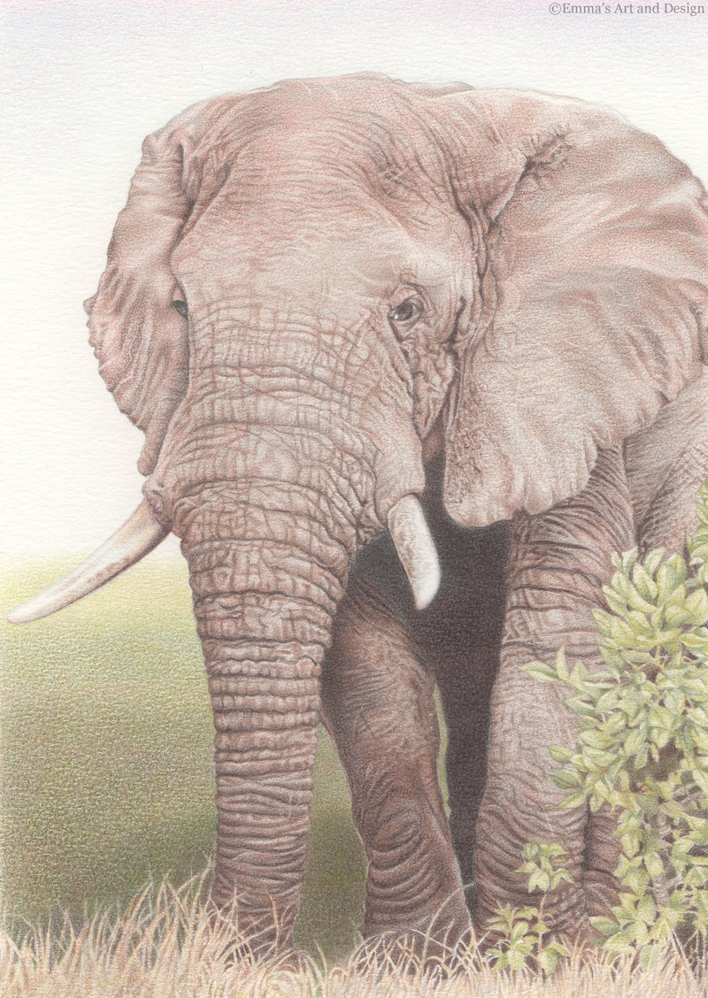 800x1128 Bull Elephant Drawing Mounted Print Of Original Coloured