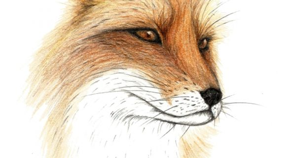 Pencil Drawing Of A Fox At Getdrawingscom Free For Personal Use