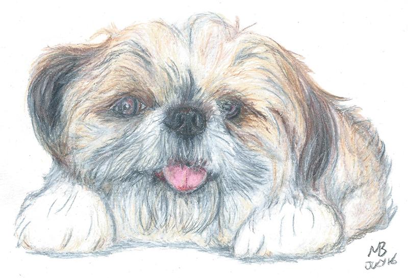 800x545 Lhasa Apso Dog Pencil Drawing By Artist Martin Balmer