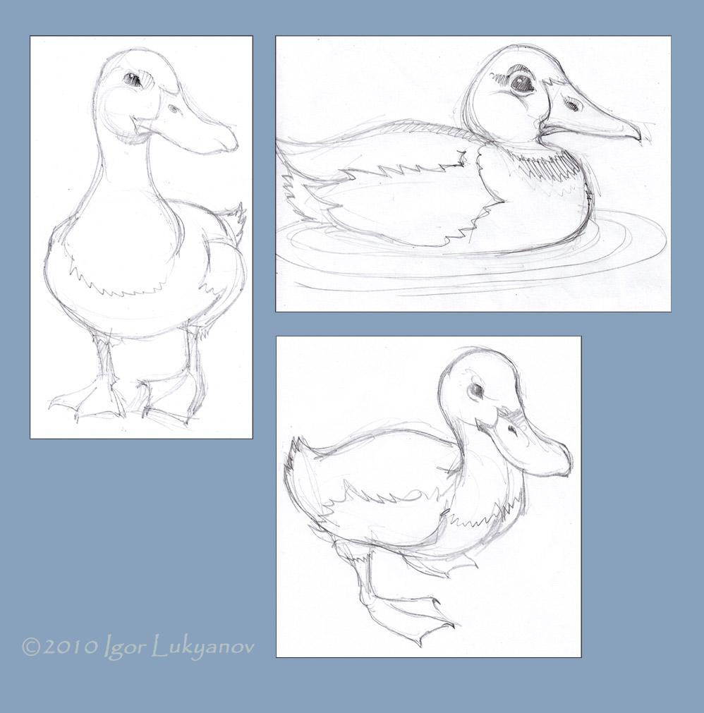 998x1011 Duck Sketch