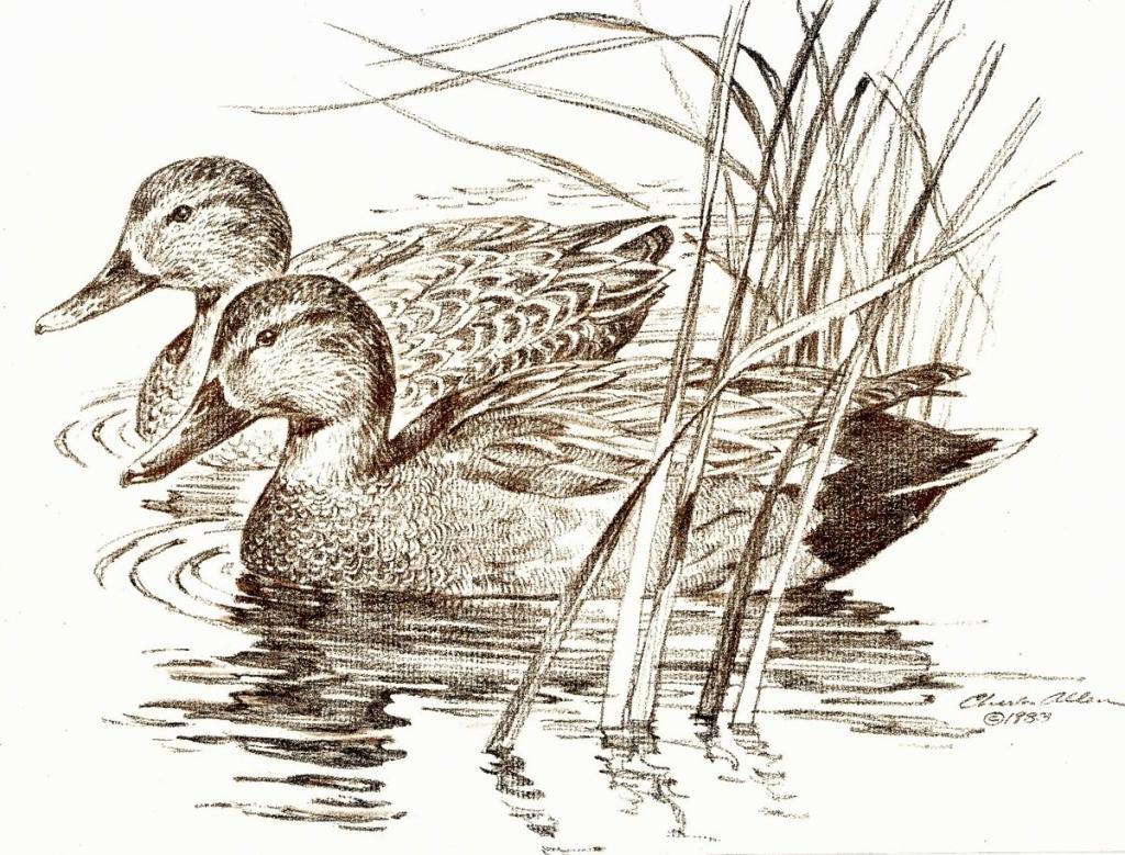 1024x779 Pencil Drawings Of Ducks Charlie Allen39s Blog November 2009