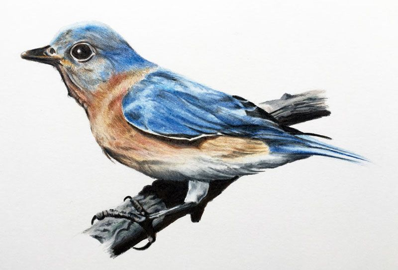 Pencil Colour Sketches Of Birds