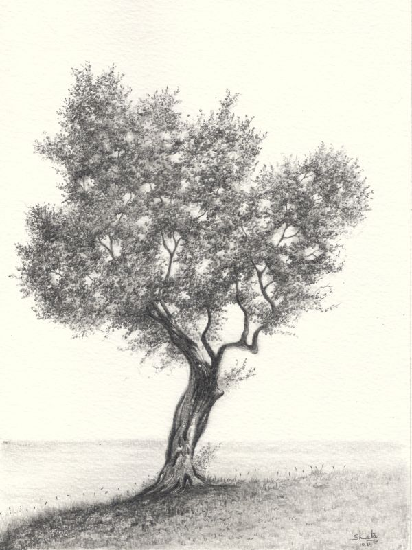 600x801 Olive Tree Pencil Drawing By Aakritiarts