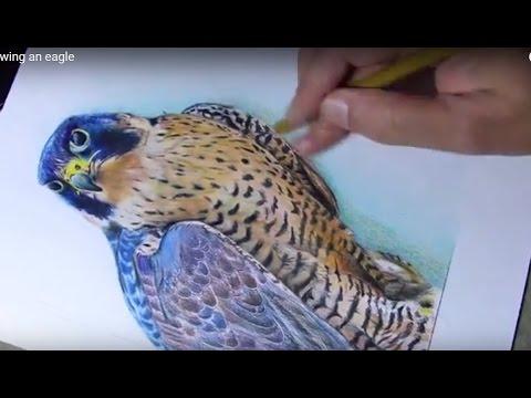 480x360 Drawing A Peregrine Falcon