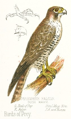 251x418 Peregrine Falcon Drawing