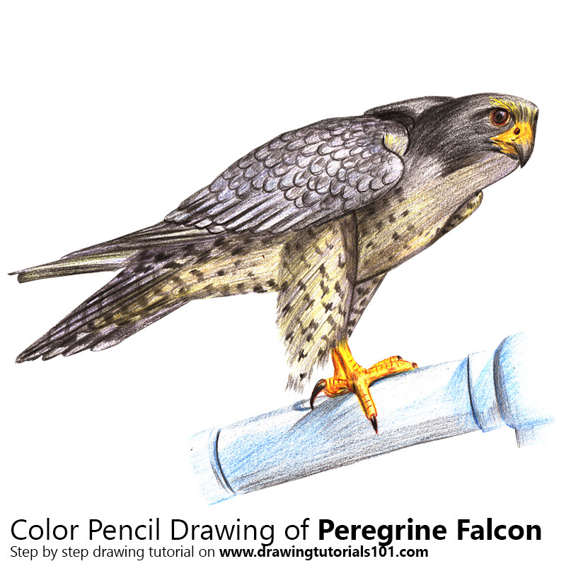 800x800 Peregrine Falcon With Color Pencils [Time Lapse] Drawing
