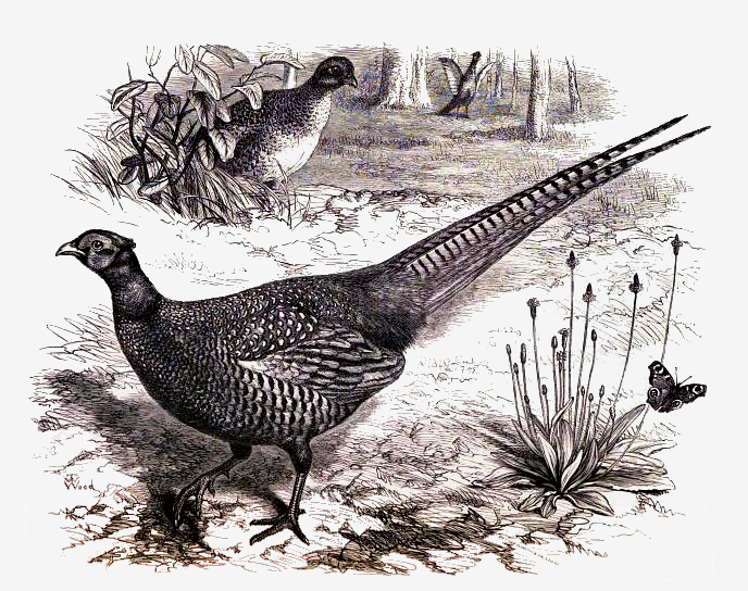688x544 Common Pheasant Drawing