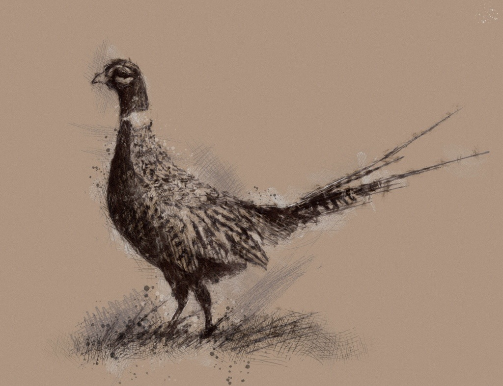 1024x787 Pheasant Pheasant, Sketches And Drawings