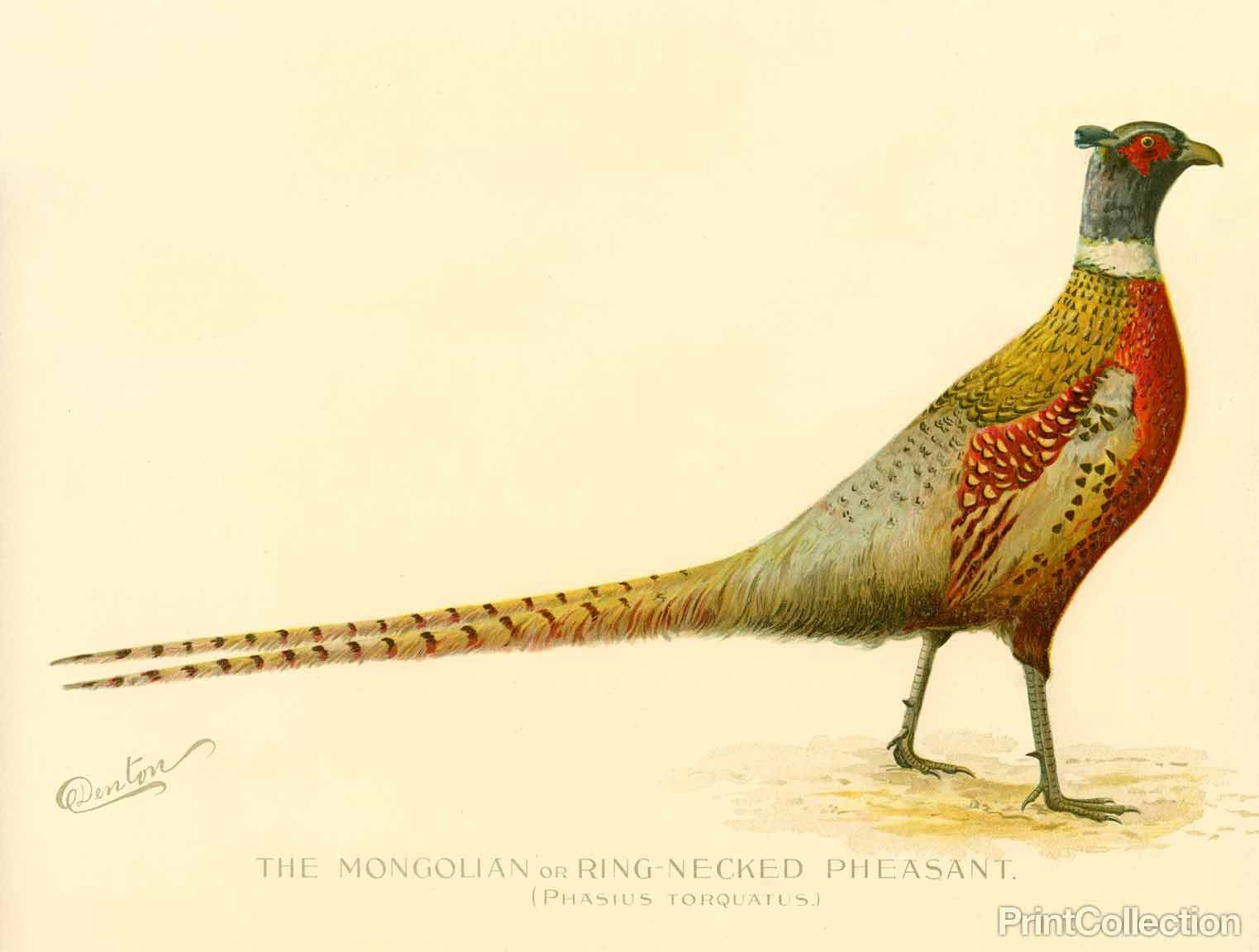 1523x1152 The Mongolian Or Ring Necked Pheasant Pheasant, Ring And Bird