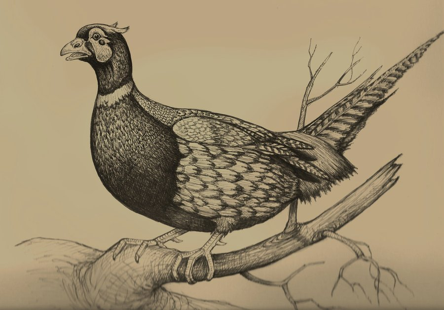 900x628 Male Pheasant Drawing By Chuckrondeau