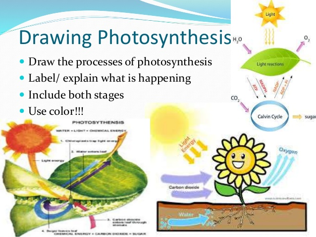 Photosynthesis drawing at getdrawings free for personal use 638x479 monday october 6 2014 ccuart Image collections