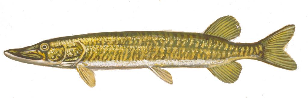 1024x328 Grass Pickerel Drawing Of Grass Pickerel. Fish