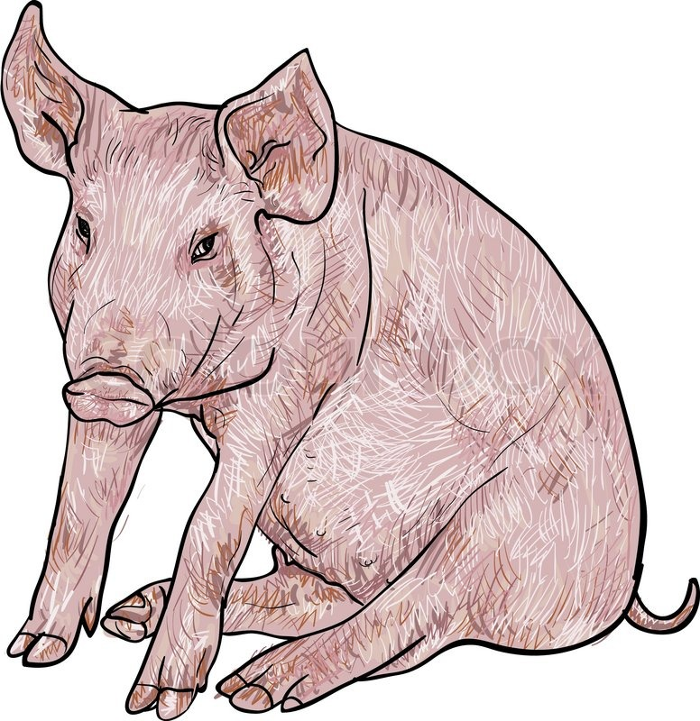 776x800 Drawing Of Pig On White Background,vector Illustration Stock