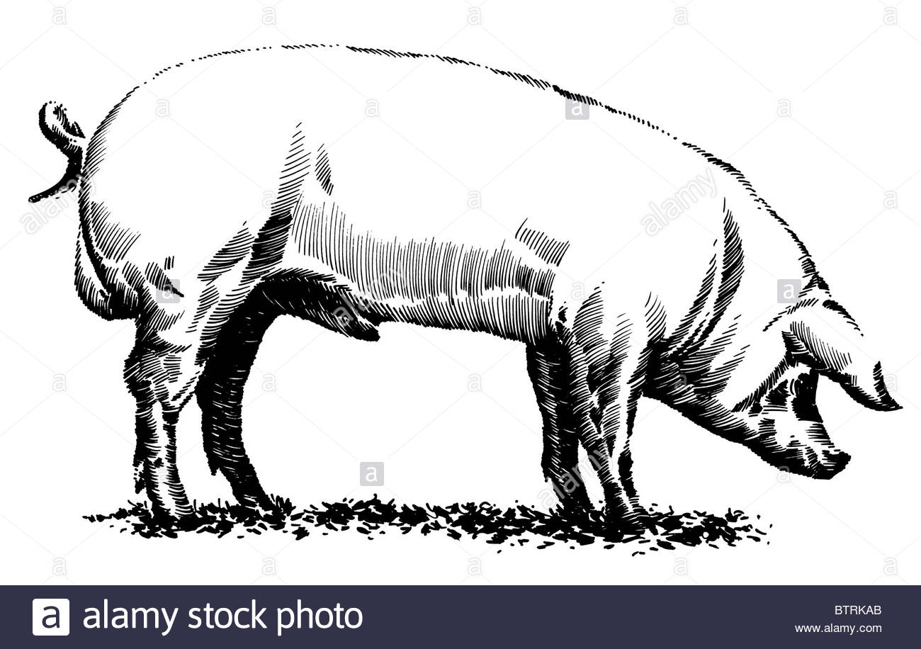 1300x916 Line Drawing Of Pig Stock Photo 32482195