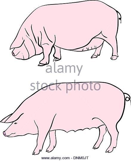439x540 Pig Meat Cut Drawing Stock Photos Amp Pig Meat Cut Drawing Stock