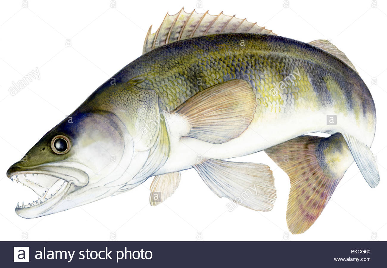 How to catch perch and pike on live bait 88