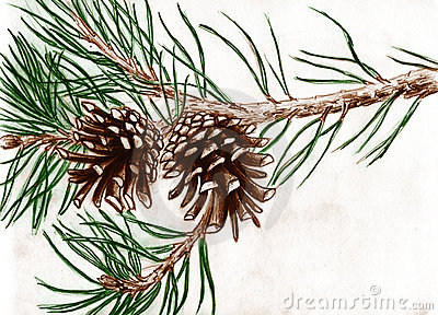 400x288 Pine Cones On Tree Branch Royalty Free Stock Photo