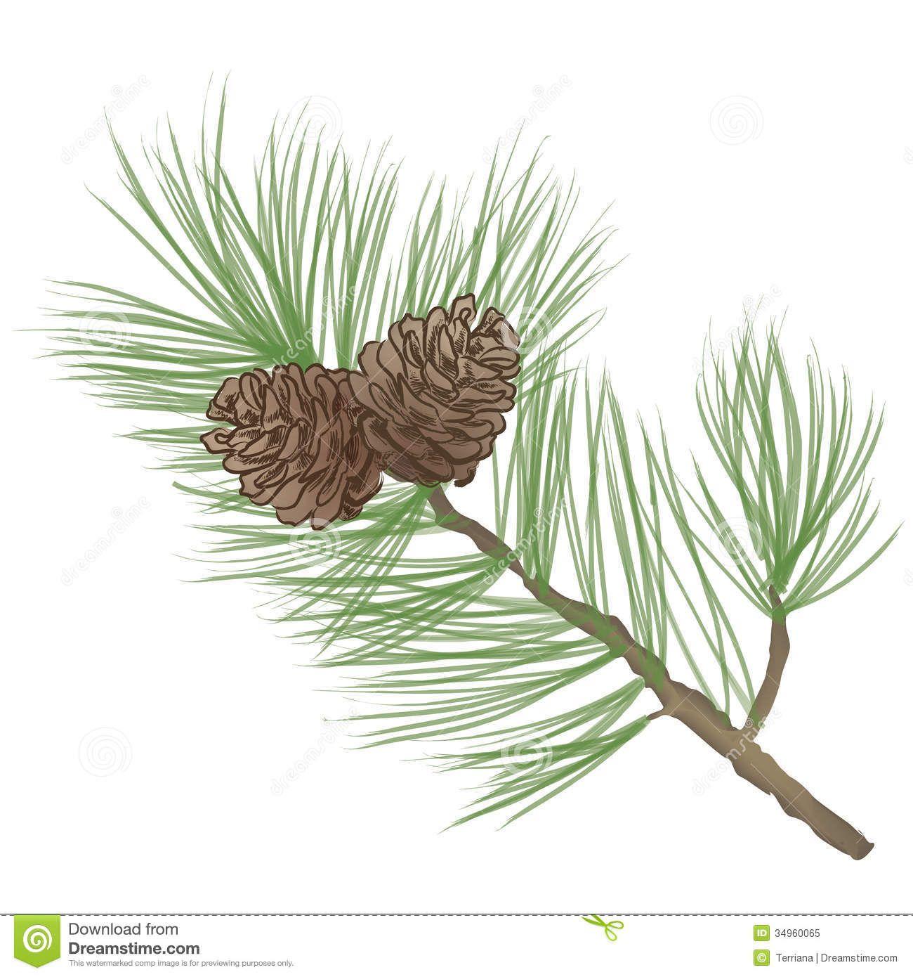 1300x1390 Branch Drawing White Pine