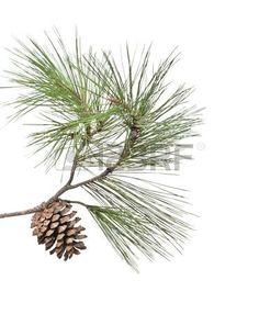 236x286 Pine Cones