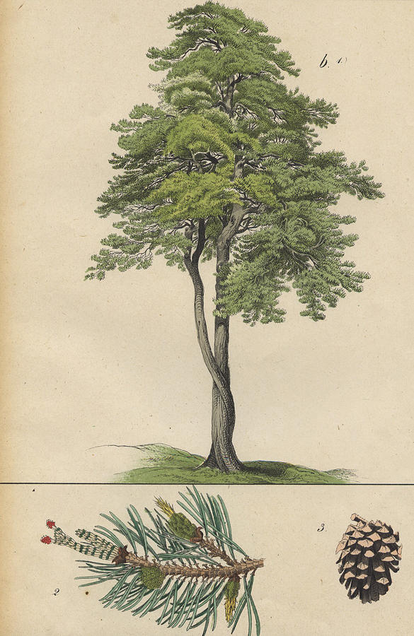 585x900 Pine Tree And Pine Cone Drawing By German Botanical Artist