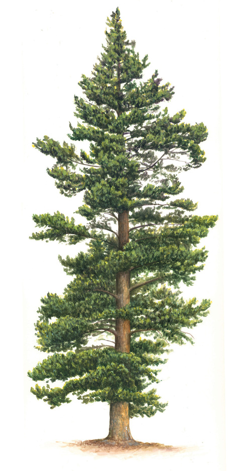 500x936 Image Result For Lodgepole Pine Drawing How To Draw Realistic