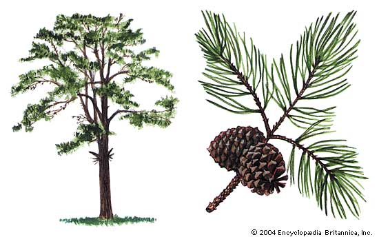 550x344 Pitch Pine Drawing Living In The Blue Ridge Mountains Of North