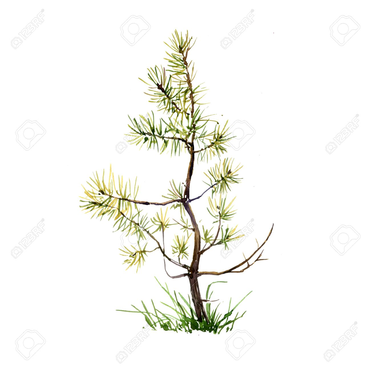 1300x1300 Young Pine Tree And Grass Drawing By Watercolor, Aquarelle Sketch