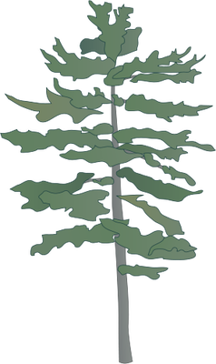 238x400 Eastern White Pine Tree Drawing Eastern White Pine)