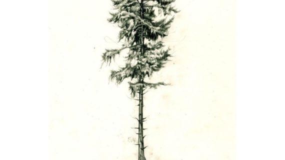 570x320 Pine Tree Drawing Pine Tree Christmas Tree Svg On Christmas Trees