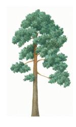 150x250 Tree Species