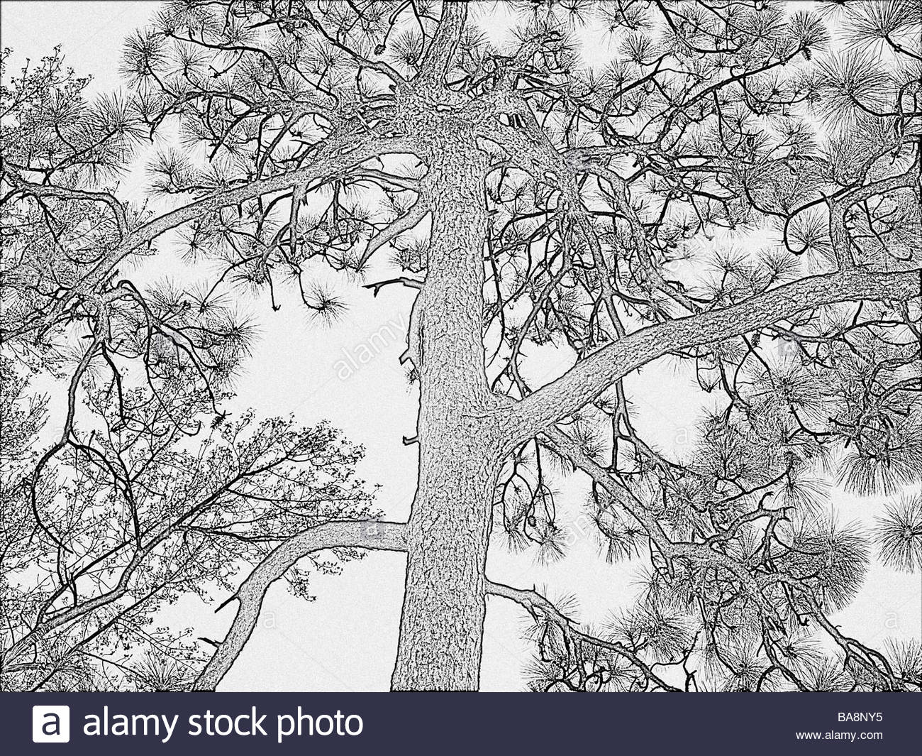 1300x1065 Long Leaf Southern Pine Tree In A Drawing Adaptation With Detailed